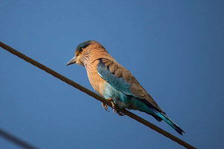 Indian Roller image