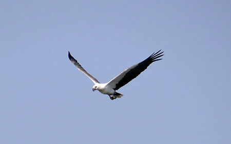 White-bellied Sea Eagle image