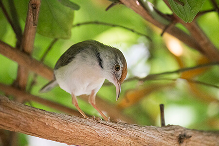 Common Tailorbird image