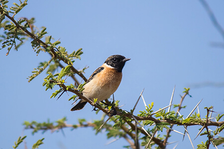 Common Stonechat image