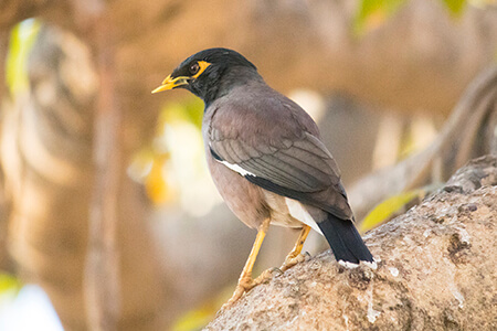 Common Myna image