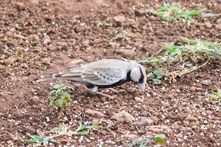 Ashy-crowned Sparrow Lark image
