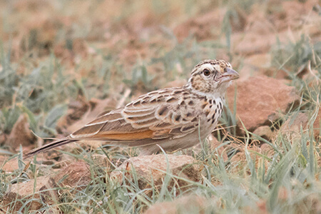 Indian Bushlark image