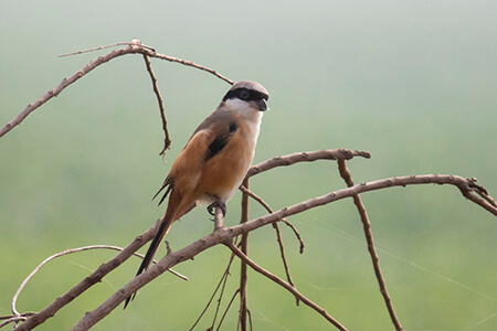 Bay-backed Shrike image