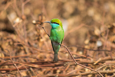 Green Bee-eater image