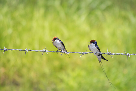 Wire-tailed Swallow image