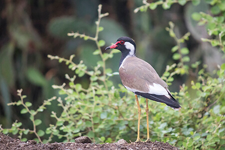 Red-wattled Lapwing image